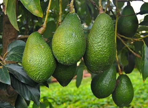 High K The Potium Solution Avocado Trees